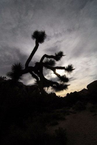 Silhouette of a Joshua Tree