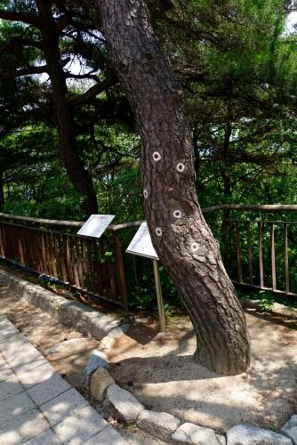 Træet hvor nordkoreanske styrker mødte sydkoreanske i 1968 med skudhuller markeret.