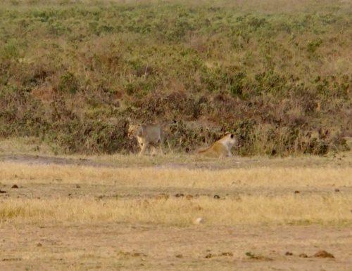 To af de i alt fire ret dovne løver.