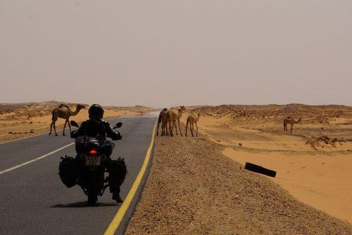 Vi måtte stoppe for 18 velvoksne kameler og 2 kamelunger.