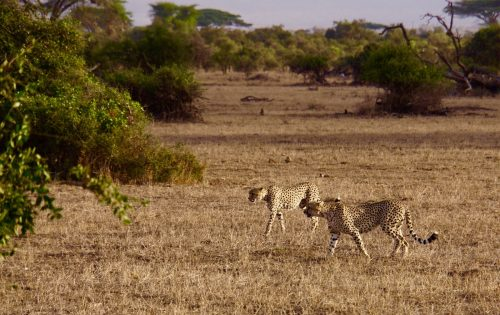 To af de tre sultne geparder.