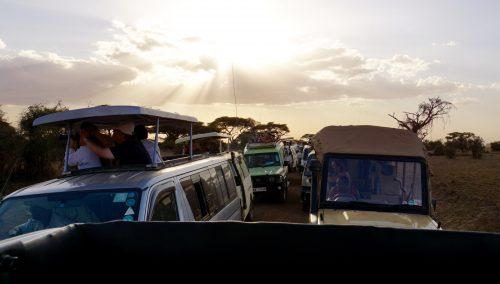 De mange safaribiler, der alle gerne ville sikre sig udsyn til geparderne.