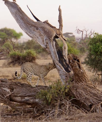 Geparden markerede her sit territorie.