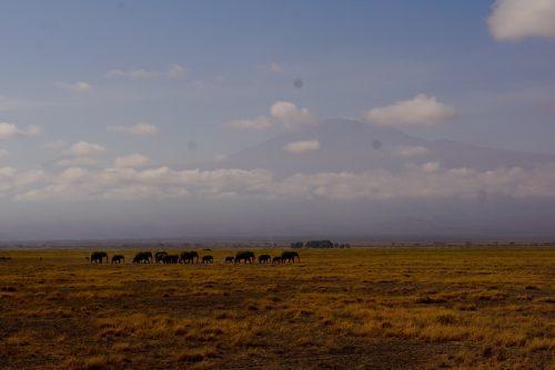 Elefantflokke består af hunelefanter og deres unger. Hannerne går rundt alene.