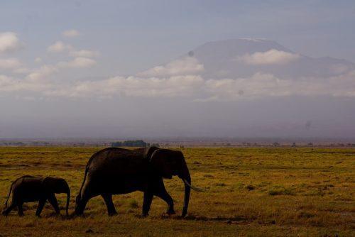 Elefantmor og -unge med Mt. Kilimanjaro i baggrunden.