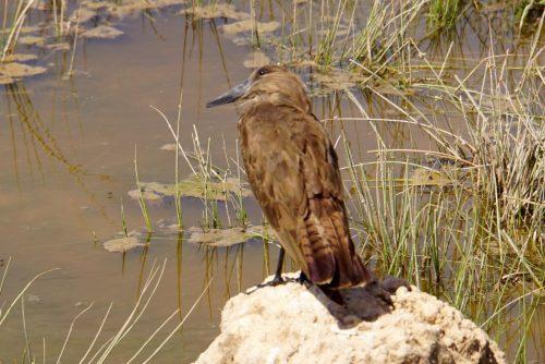 Amaco, fuglen, der bygger verdens støste reder.