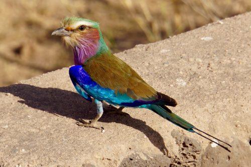 , fuglen med de mange smukke farver.