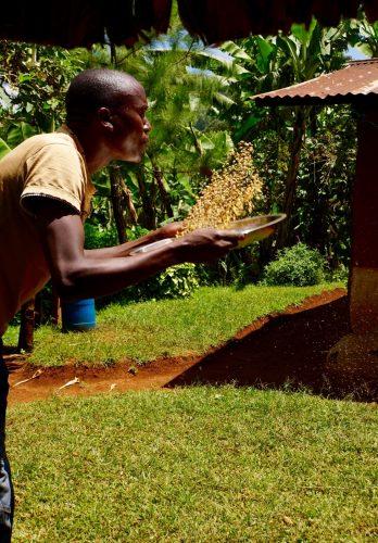 Avnerne frasorteres fra kaffebønderne.