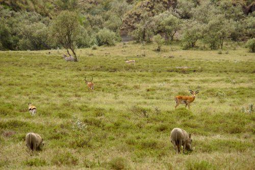 Impalaer, vortesvin, gazeller og zebra.