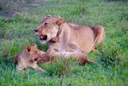 Løvemor er stadig udmattet efter, hun fangede vortesvinet til sine unger.