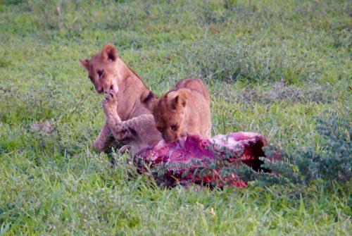 De to små løveunger fik serveret vortesving.