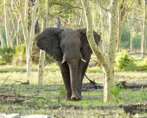 Denne store hanelefant markerede sig ved at slå med ørene, løbe mod os og trutte.